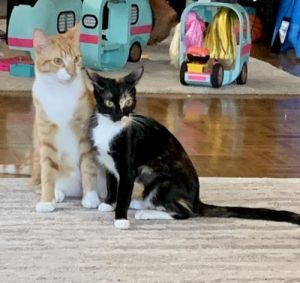 These two bonded one year old cats are ready to be yours Nahla is the Tortie and Simba the orange