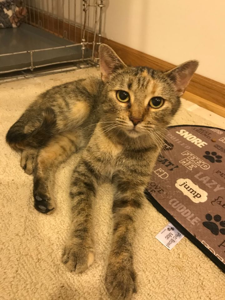 Giada, an adopted Domestic Short Hair & Torbie Mix in Eaton Rapids, MI