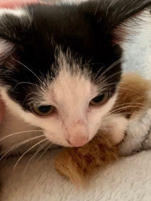 Harry Tuxedo Cat