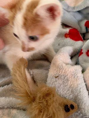 Buttercup Domestic Short Hair Cat