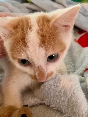 Meet Buttercup This sweetheart was born to a gorgeous calico mama this girl has similar markings b