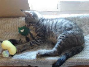Daisy Domestic Short Hair Cat