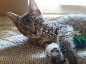 Meet Daisy This gray tabby girl kitten is adorable playful and loving She loves playing with her