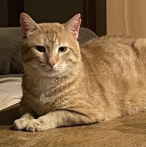 Ron Domestic Short Hair Cat
