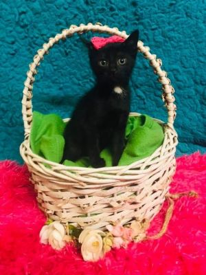 Batty is an adorable little black kitten with a little white spot on her chest She is sweet affect