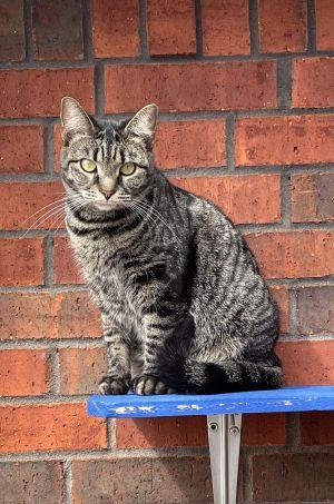 Luna Tabby Cat