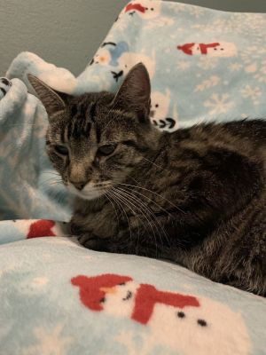 Meet Luna This sweet laid-back easy-going lady kitty is in need of her forever home Luna is voca