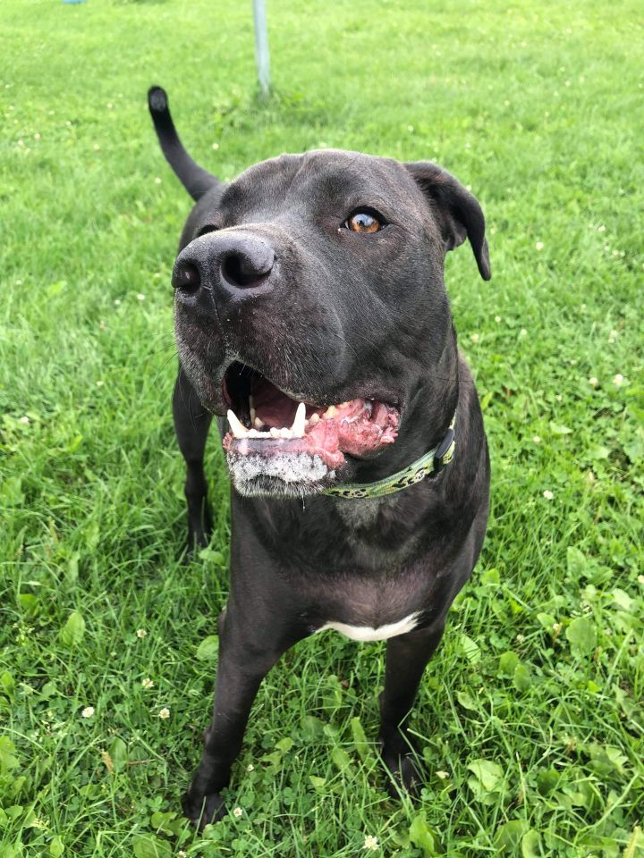 Roscoe, an adoptable Labrador Retriever in Neillsville, WI