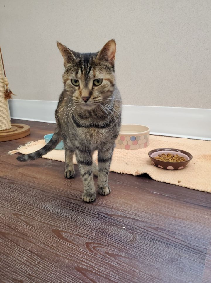Bethany, an adoptable Domestic Short Hair in Naperville, IL