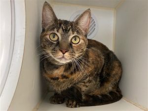 Primary Color Torbie Weight 93lbs Age 4yrs 0mths 2wks Animal has been Spayed