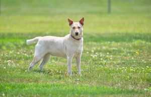 Butter Pecan is a 2 year old 45 pound mix from Puerto Rico She is shy and skittish with new