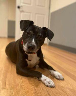 Rosia Pit Bull Terrier Dog