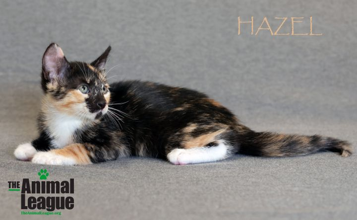 Hazel, an adoptable Domestic Short Hair Mix in Clermont, FL