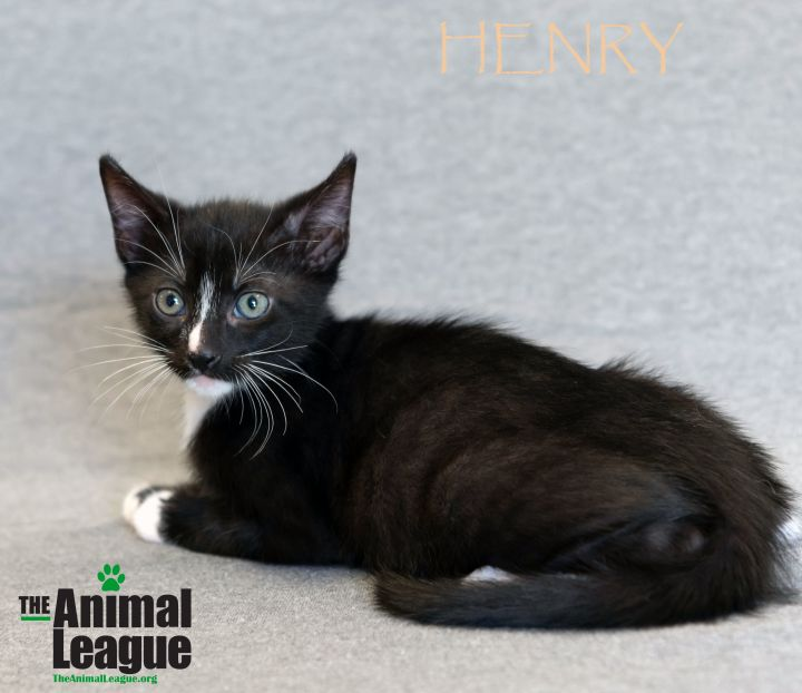 Henry, an adoptable Domestic Short Hair Mix in Clermont, FL