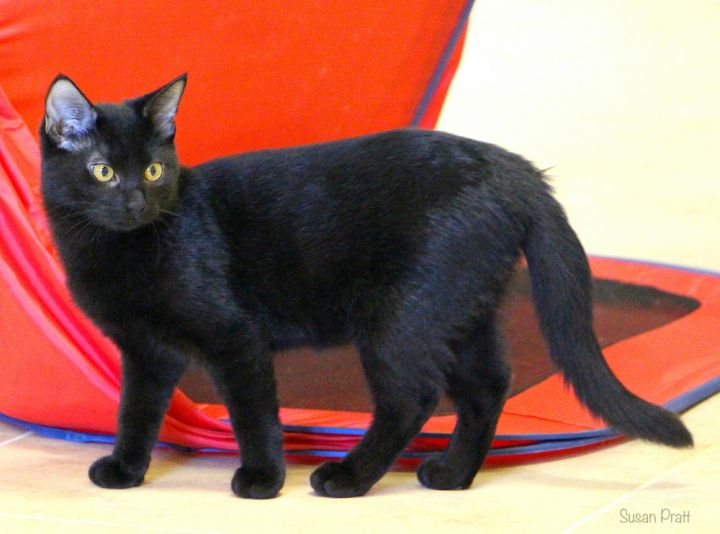 Lilly, an adoptable Domestic Short Hair in Bedford, VA