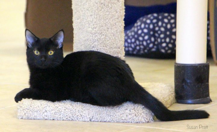 Lilly, an adopted Domestic Short Hair in Bedford, VA