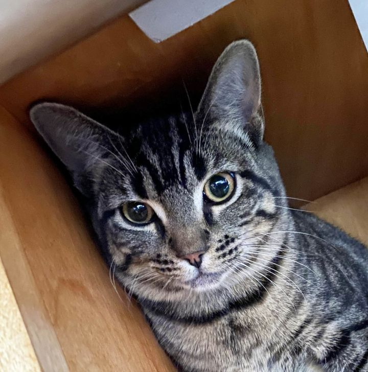 Marilyn, an adopted Tabby in Phoenix, AZ