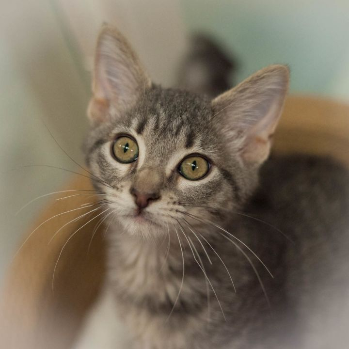 Greta, an adopted Domestic Short Hair in Ponte Vedra, FL_image-2