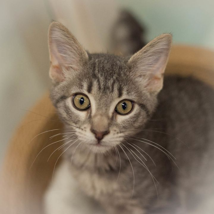 Greta, an adopted Domestic Short Hair in Ponte Vedra, FL_image-3