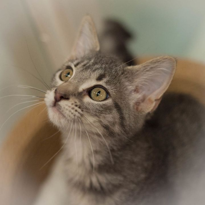 Grace, an adopted Domestic Short Hair Mix in Ponte Vedra, FL