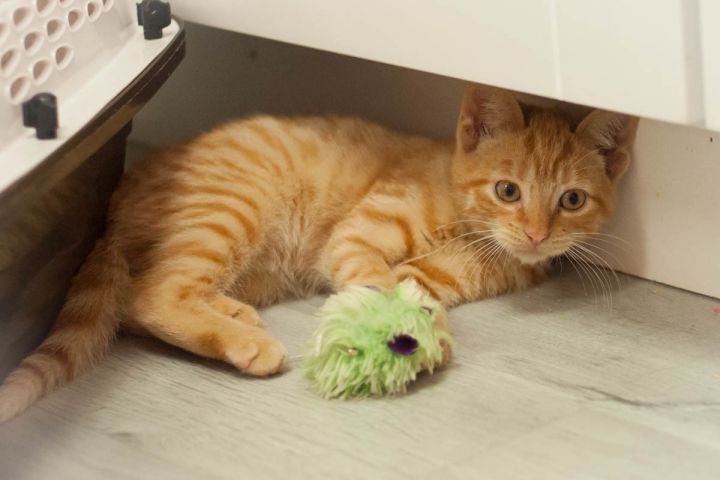 Gilroy, an adopted Domestic Short Hair in Ponte Vedra, FL