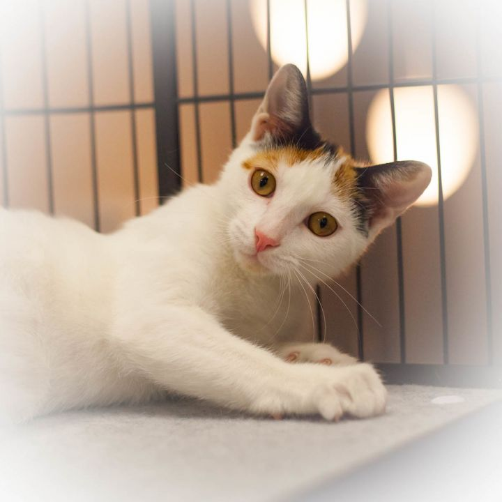 Cassandra, an adopted Calico in St Augustine, FL_image-2