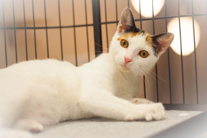Cassandra, an adopted Calico in St Augustine, FL_image-3