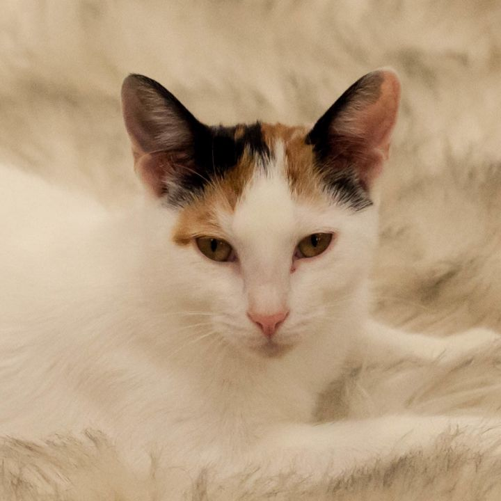 Cassandra, an adopted Calico in St Augustine, FL_image-1