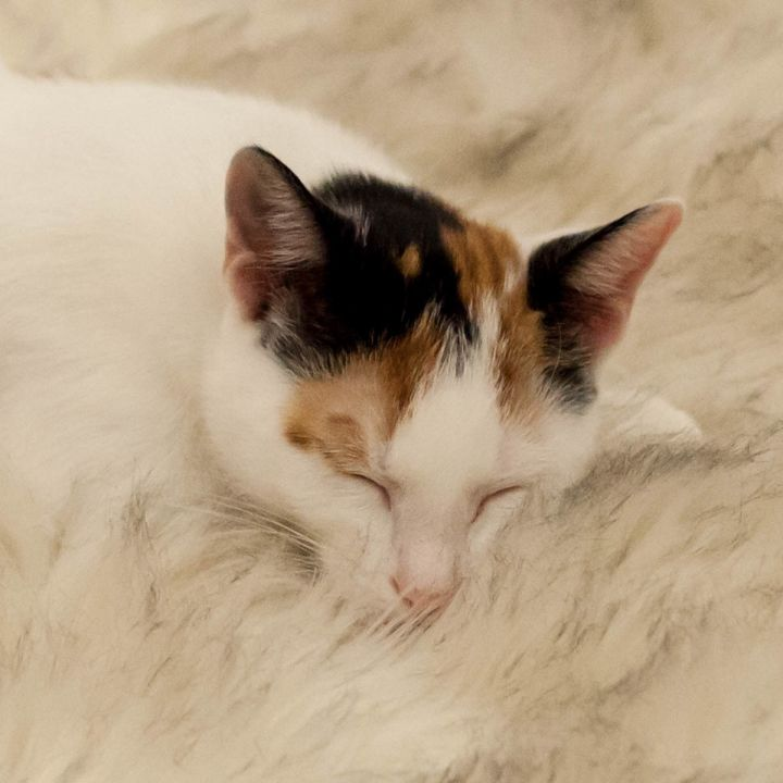 Cassandra, an adopted Calico in St Augustine, FL_image-4
