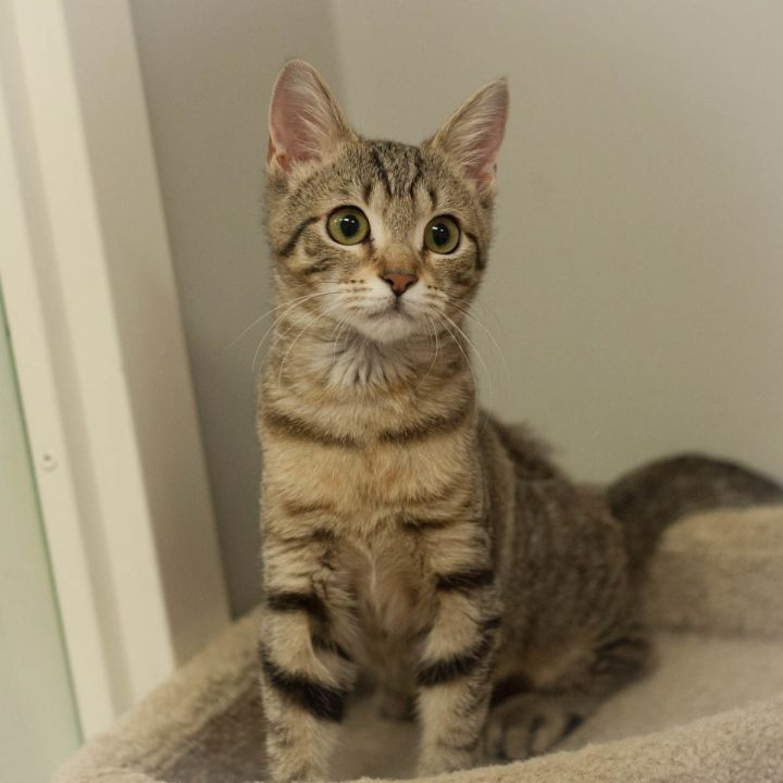 Angel, an adopted Domestic Short Hair in St Augustine, FL