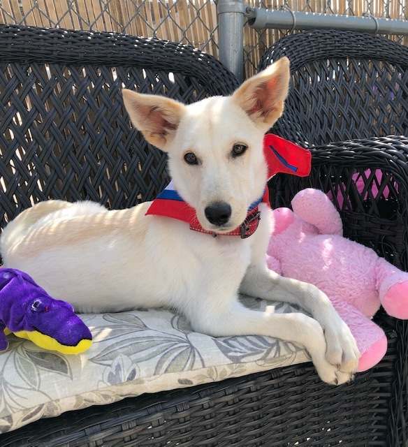 Kobi, an adopted Husky Mix in Long Beach, NY