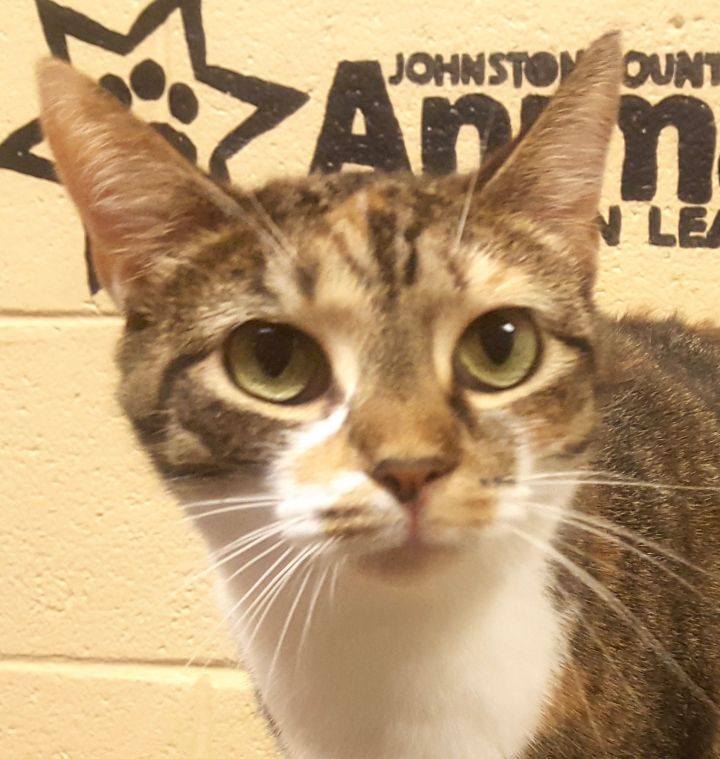 Patsy, an adoptable Domestic Short Hair in Smithfield, NC