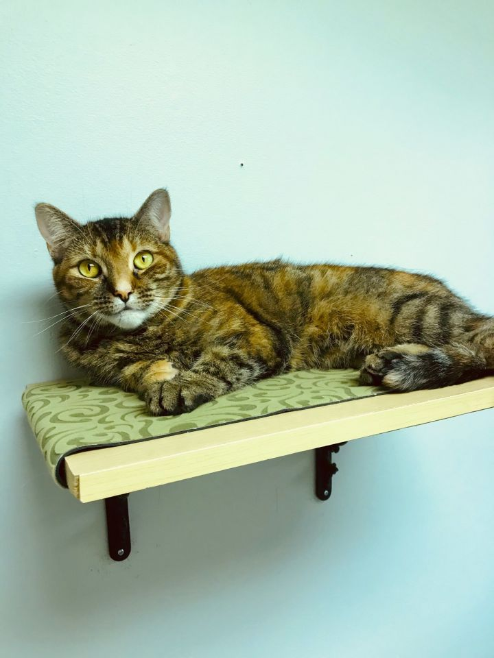 Kelly, an adopted Domestic Short Hair in Warminster, PA