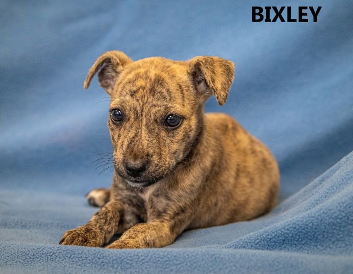 Bixley, an adopted Pit Bull Terrier Mix in Washington, GA