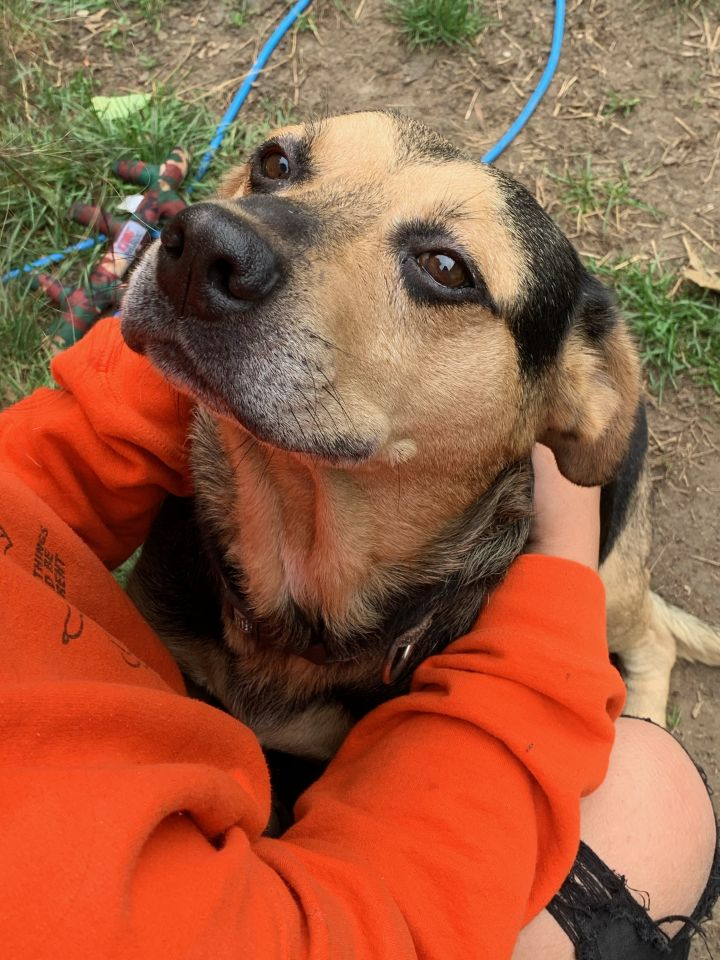 Dino; ADOPTION FEE WAIVED, an adopted Shepherd & Terrier Mix in Southbury, CT
