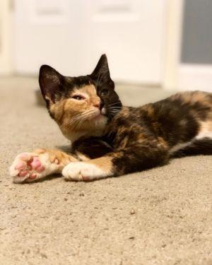 Stella Calico Cat