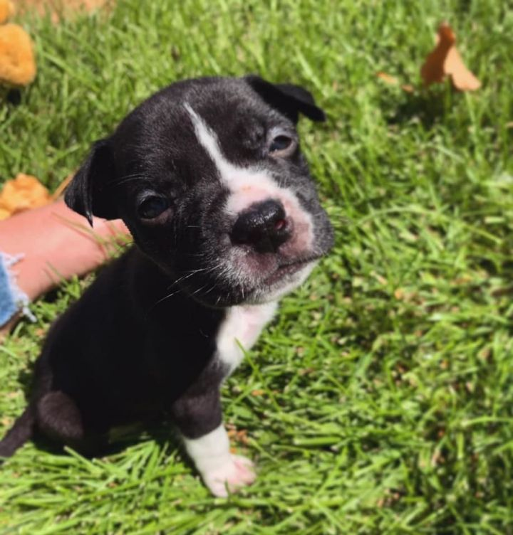Little Champ, an adoptable Pit Bull Terrier Mix in Eagle, ID
