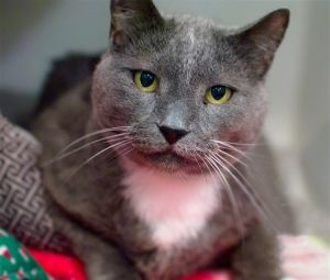Guapo means handsome in Spanish so its obvious how this gorgeous gray gentleman of a cat got his