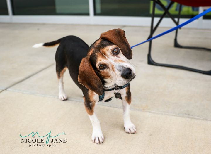 Regal Beagle, an adopted Beagle Mix in Springfield, MO