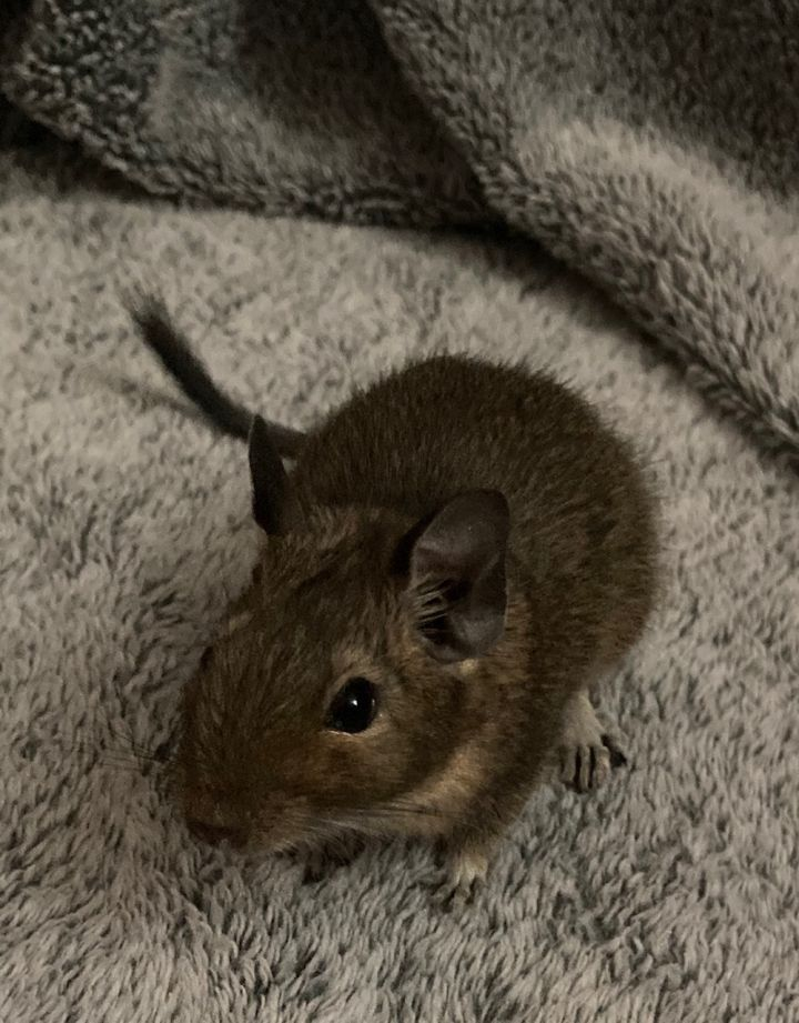 Nelson, an adoptable Degu in Saint Paul, MN
