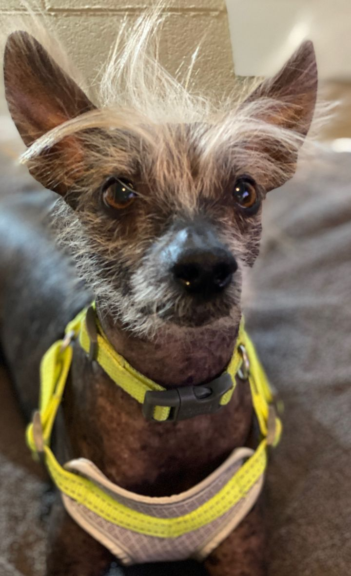 Tot, an adoptable Chinese Crested Dog in Houston, TX