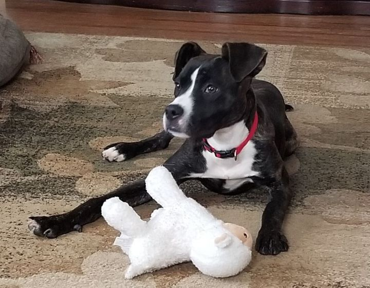 Poppy, an adopted Boxer & Pit Bull Terrier Mix in Rochester, NY
