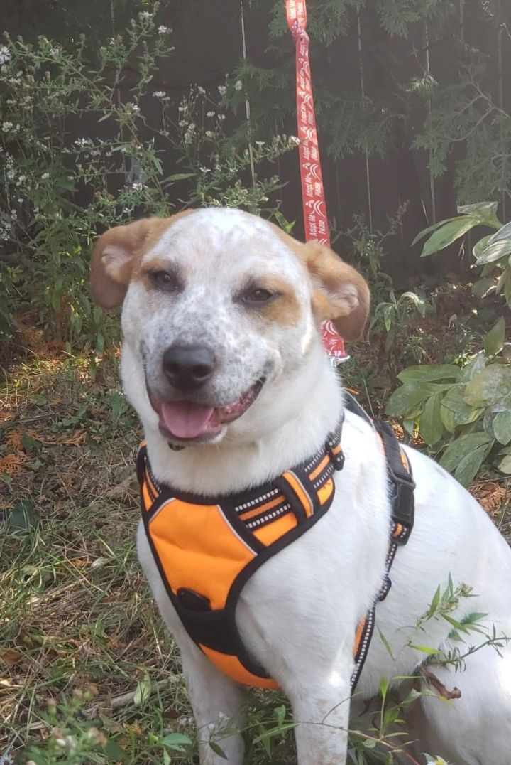 Jolie, an adoptable Cattle Dog Mix in Rochester, NY