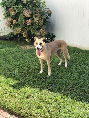Tina German Shepherd Dog Dog
