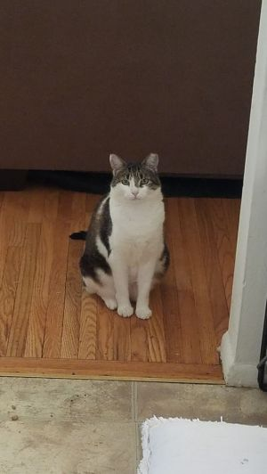 Lily is a spayed  vaccinated 3 12 year old kitty who disappeared a few months