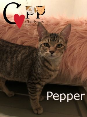 Pepper is a kitten with an attitude He was probably born in June 2020 His mom is laid back Cinnamo