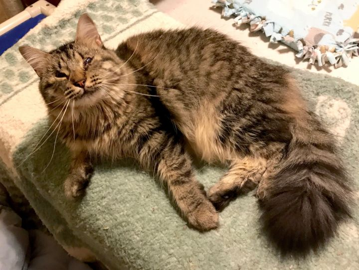 Penelope, an adoptable Domestic Long Hair in Smithfield, NC