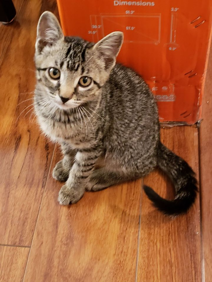 Endo, an adoptable Domestic Short Hair Mix in Overland Park, KS