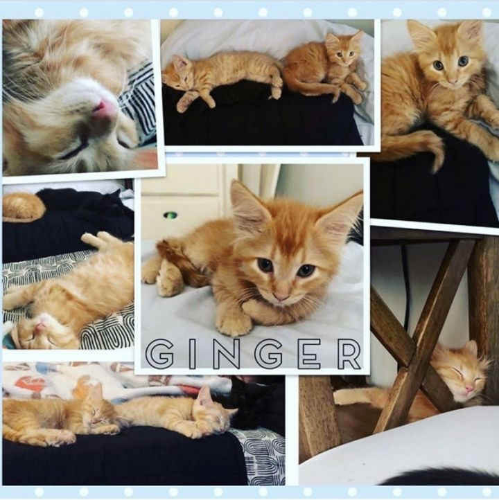 Ginger, an adopted Domestic Short Hair Mix in PORTLAND, OR