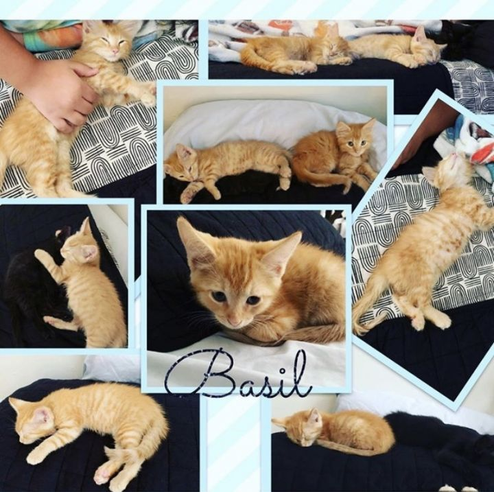 Basil, an adopted Domestic Short Hair Mix in PORTLAND, OR